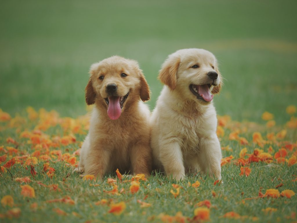 Two golden retriever puppies sit in a field of grass and leaves